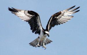 Sea-Hawk