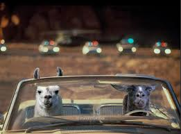 llamas in car