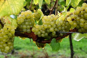 Chardonnay-grapes-on-vine