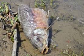 dead carp