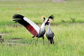 bird mating ritual